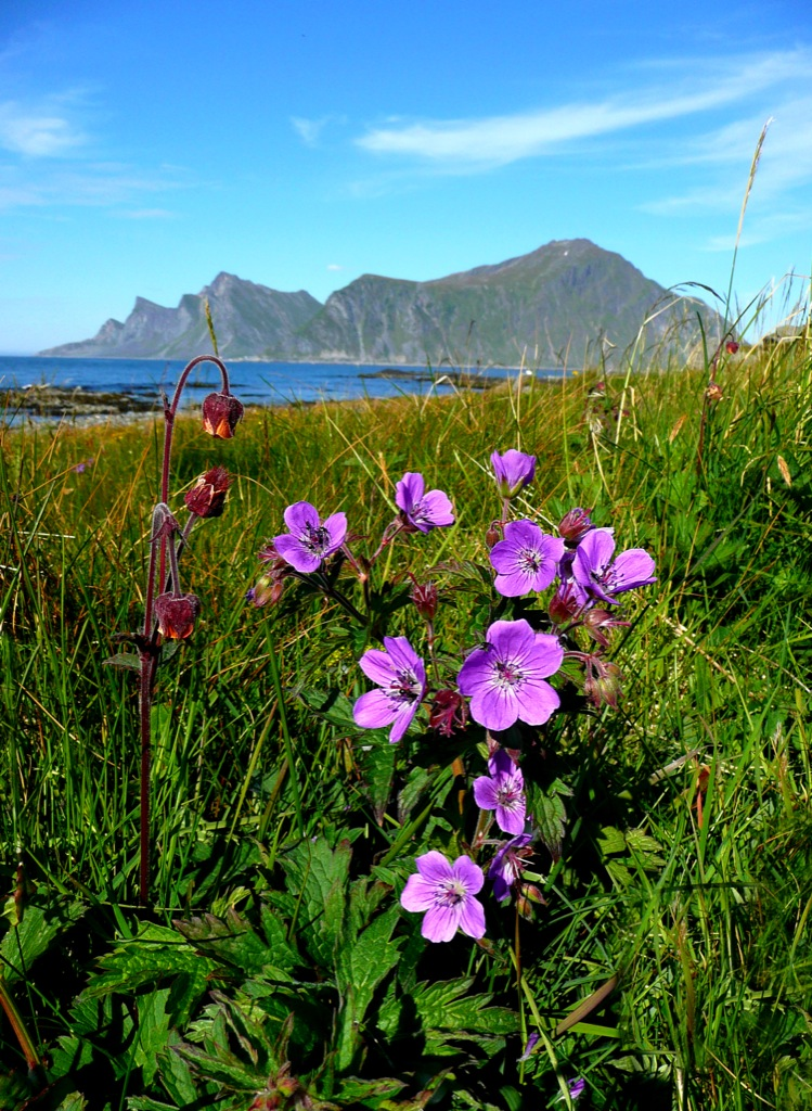 Arctic summer flowers