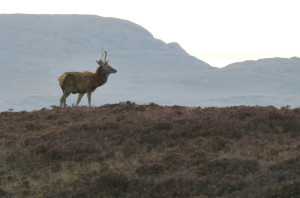 Red Deer Stag at 8.00 p.m. on the road to Durness