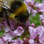 Bee on Marjoram