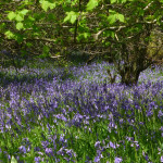 Bluebell Woodland