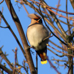 Waxwings beside a busy road in Ashington.