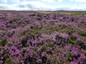 Moorland Heather