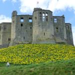 hundreds of daffodils at Warkworth