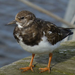 Turnstone at Amble